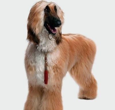 Chart afgański nigdy nie będzie psem bezwzględnie posłusznym FOT. INGIMAGE