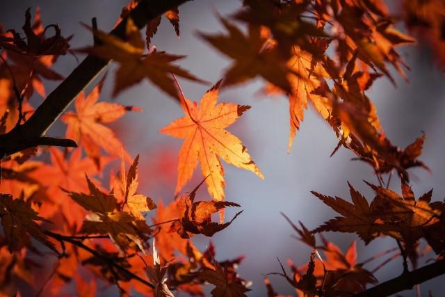 """Jesień kalendarzowa zawsze zaczyna się tego samego dnia – 23 września. Bardziej skomplikowana jest sytuacja związana z jesienią astronomiczną, której początek przypada na czas równonocy jesiennej, czyli """"zrównania dnia i nocy"""". Wtedy Słońce równomiernie oświetla obie półkule."""