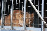 Ekspert: Trzeba zakończyć cierpienie zwierząt w cyrkach i psudohodowlach [WIDEO, ZDJĘCIA]