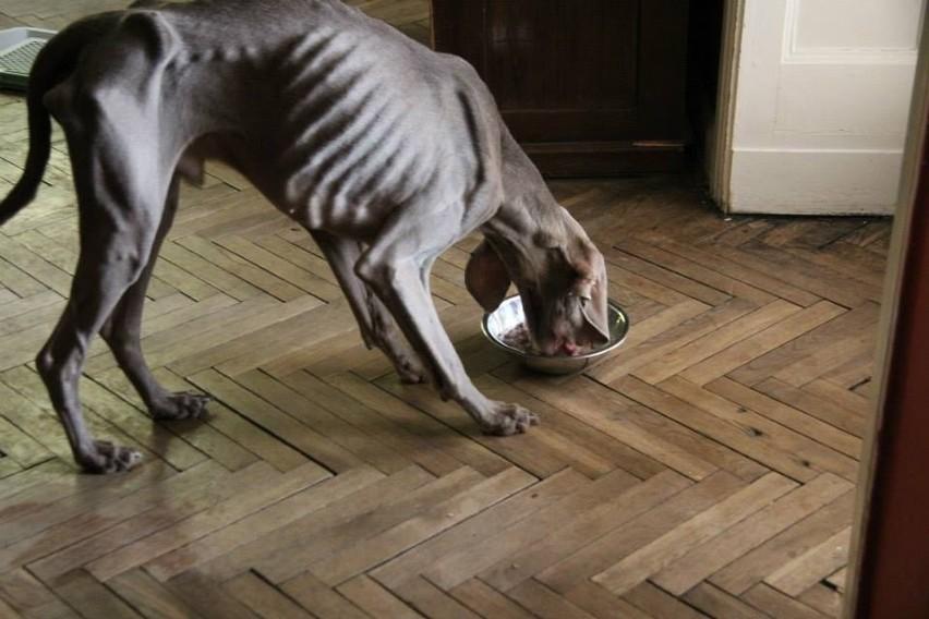 Prokuratura bada sprawę głodzonego i bitego psa z Bałut [ZDJĘCIA]