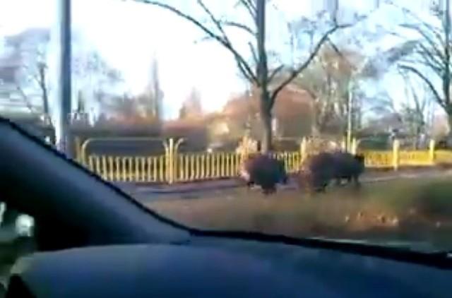 Dziki biegły dziś po torach na Krzekowie. Na szczęście nie doszło do kursu kolizyjnego z prawdziwymi swingami.