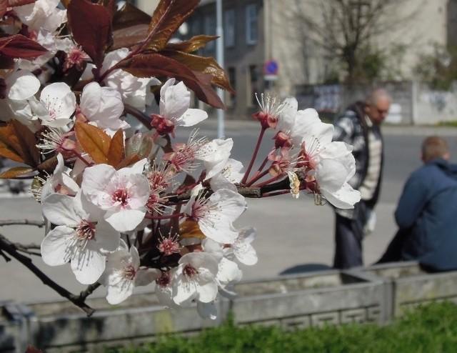 Na działkach, w parkach i na osiedlach kwitną drzewa owocowe.