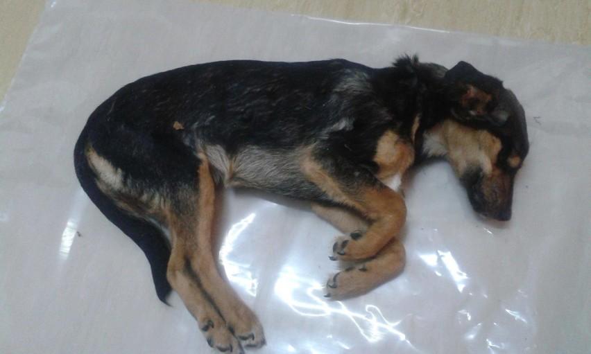 Na Bulwarze Filadelfijskim w Toruniu znaleziono martwe psy....