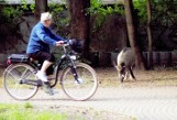 Dziki w Parku Kościuszki w Katowicach są niebezpieczne dla ludzi. Niszczą też kwietniki i zieleńce
