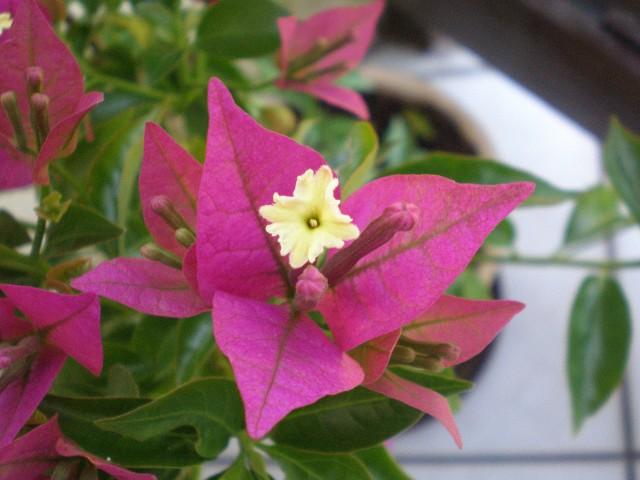 Kwiat bugenwilliBugenwilla nie znosi chłodów, jeśli lato jest słoneczne i piękne będzie kwitła do września.