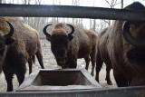Żubry w Pszczynie mają 155 lat. W 1865 r. książę pszczyński wymienił 25 jeleni na 4 żubry z Puszczy Białowieskiej