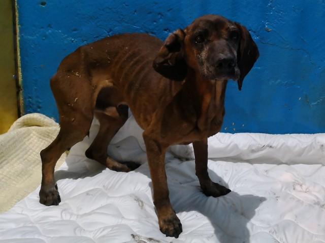 Pies, który trafił do schroniska w Piotrowie jest w opłakanym stanie.