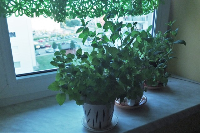 """Zioła uprawiane w domuMelisa, mięta, bazylia - dobry początek na """"ziołowy"""" parapet. Niewprawieni mogą zacząć przygodę z ziołami od ogólnie dostępnych teraz sadzonek."""
