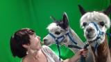 Alpaki Bambi i Tor w studiu Nowej Trybuny Opolskiej! Co działo się przed kamerą? [GOŚĆ NTO]