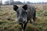 Jest pierwszy przypadek afrykańskiego pomoru świń w woj. pomorskim