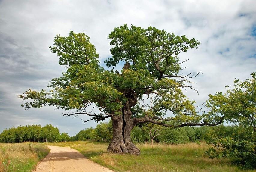 Dąb Dunin został Drzewem Roku 2021. Jest to dąb szypułkowy....
