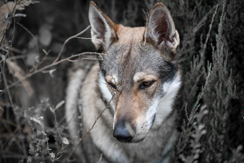 Tego psa można w pierwszej chwili pomylić z wilkiem. I nic...
