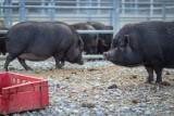 Świnki z wrocławskiego schroniska. Dlaczego nikt ich nie chce? Adoptuj!