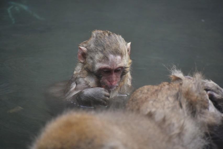 Tajlandia: atak wygłodniałych małp na wioskę. Przez brak turystów od dawna nie były dokarmiane