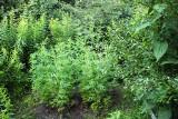 Nielegalna plantacja konopi pod Kutnem