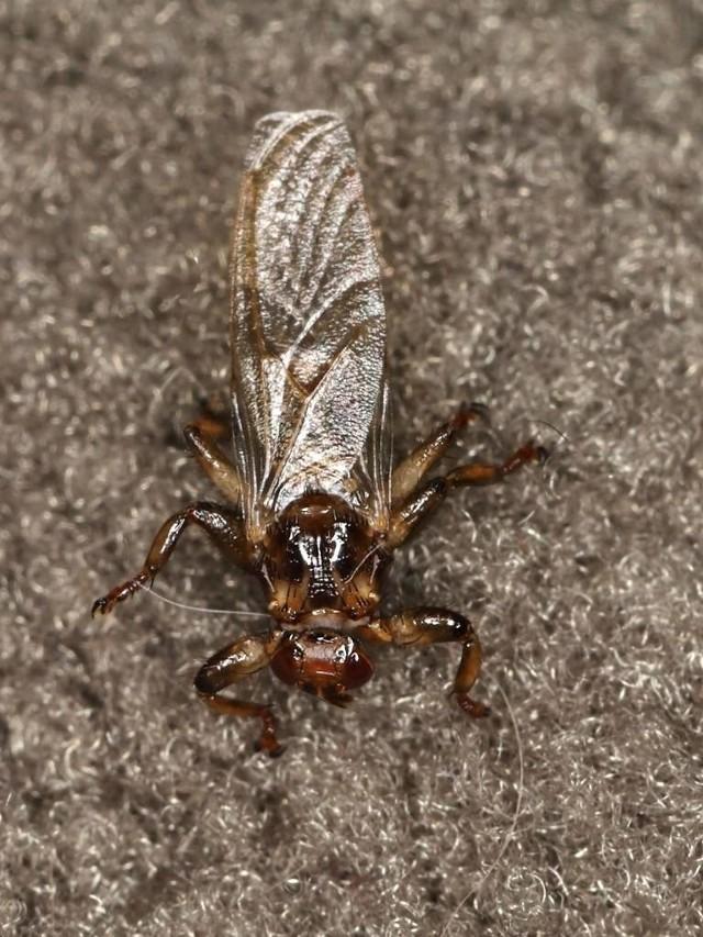 Strzyżaki sarnie przez wielu nazywane są latającymi kleszczami. Czy trzeba się obawiać tych owadów?