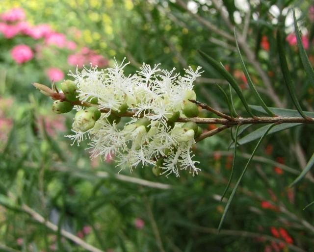 Olejek z drzewa herbacianego jest pozyskiwany z liści rosnącego w Australii
