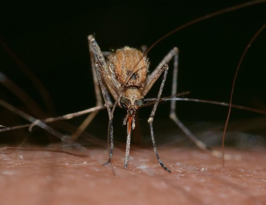 Czy komary mogą przenosić koronawirusa?