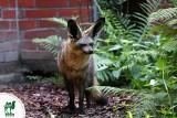 Cztery słodkie otocjony urodziły się w śląskim zoo. Wiecie, co to za zwierzęta? W chorzowskim zoo jest też nowy mieszkaniec. To serwal