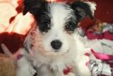 Toruń: Porzucone przez właściciela szczeniaki szukają domu. Może ujmą za serce naszych Czytelników?