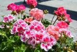 Letnie kwiaty ozdobią ronda i skwery w Chełmie. W mieście trwają nasadzenia. Zobacz zdjęcia