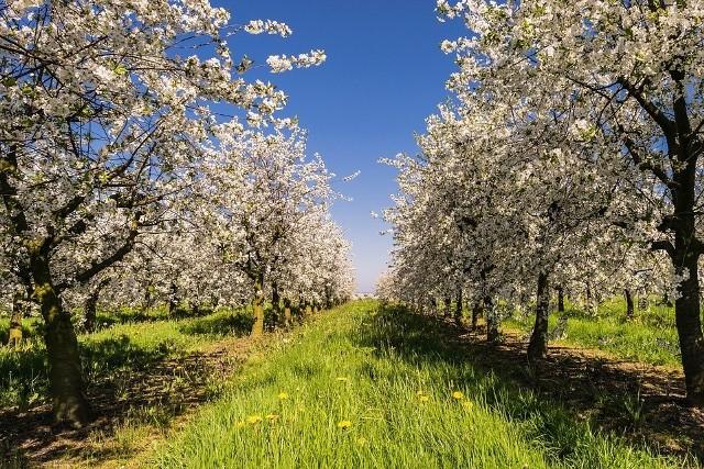 """Do sortowania cebuli, zbioru truskawek i ogórków, a także do pomocy w sadach i ogrodach można się zatrudnić niemal od zaraz lub za kilka tygodni. Rolnicy i ogrodnicy z naszego województwa prowadzą wielką akcję poszukiwania pracowników tymczasowych. Stawki są bardzo zróżnicowane.Wiele ogłoszeń dotyczących prac rolnych zaczęło pojawiać się na początku kwietnia, z dnia na dzień ich przybywa. Niektórzy pracodawcy chcą sobie """"zarezerwować"""" pracowników z wyprzedzeniem, nawet kilkutygodniowym. Tak robią np. plantatorzy truskawek czy borówki amerykańskiej.Czytaj dalej"""