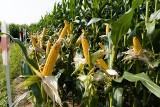 W Stubnie koło Przemyśla nocą skosili i wywieźli kukurydzę wartą 80 tys. zł. Jest nagroda za pomoc w znalezieniu sprawcy