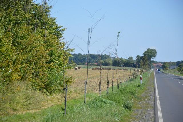 Mieszkańcy skarżą się, że część zasadzonych drzewek uschła...
