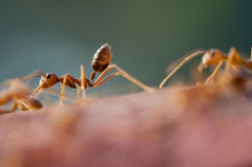 Mandarynki jako pogromca mrówek...