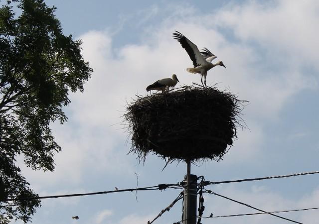 Młode bociany z Kościerzyc już w weekend trenowały machanie skrzydłami, ale prawdziwe loty rozpoczną zapewne dopiero w przyszłym tygodniu.
