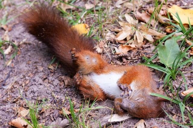 Kto może chcieć skrzywdzić takie miłe zwierzęta? - zastanawia się nasza Czytelniczka. Podzieliła się makabrycznymi zdjęciami. Na Zwierzyńcu ktoś poluje na wiewiórki?