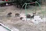 Dziki nadal grasują na wrocławskim osiedlu Poświętne