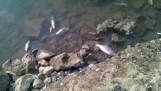 """""""Martwe ryby w Płocku"""". Zdjęcia sprzed kilku lat wrzucane do internetu jako dowód katastrofy ekologicznej po wycieku ścieków do Wisły"""