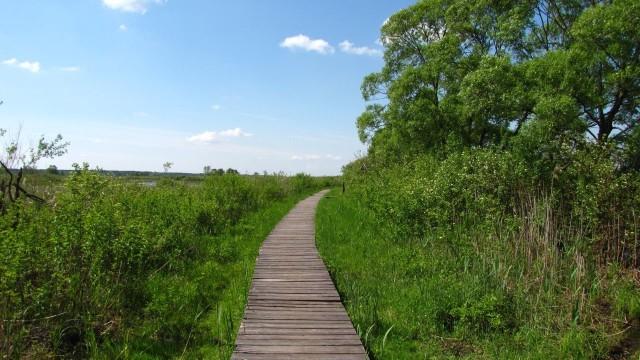 Ścieżki edukacyjne w pobliżu siedziby Biebrzańskiego Parku Narodowego pozwalają na obserwację ptaków.
