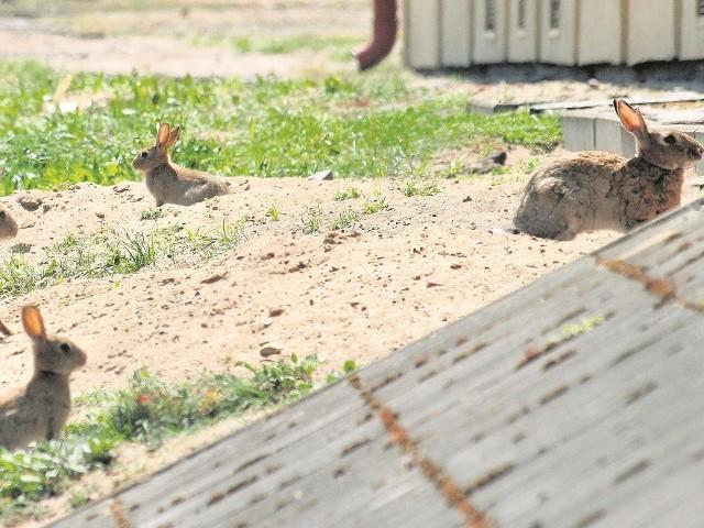 Przez siatkę okalającą stację transformatorową można zobaczyć dziesiątki kicających królików. Często opuszczają siedlisko przez dziury w ogrodzeniu i wyruszają na teren parkingu.
