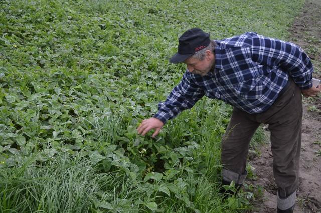 Wkrótce rozpoczną się zbiory truskawek