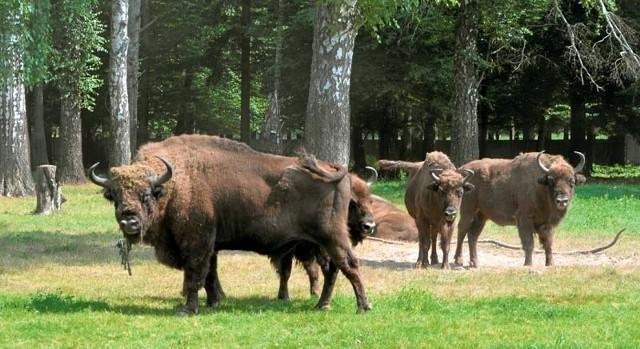 Atrakcją BPN jest rezerwat pokazowy, gdzie można stanąć oko w oko z królem puszczy - żubrem, a także spotkać inne zwierzęta.