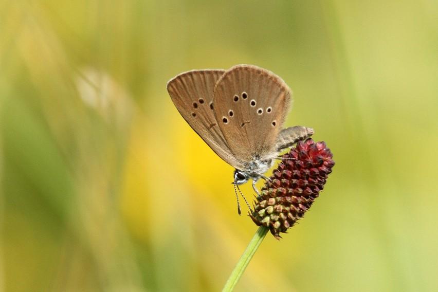 Jednym ze stu lubuskich motyli jest modraszek