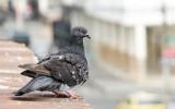 Gołębie – uciążliwi sąsiedzi. Czy można usunąć gniazdo gołębi na balkonie?