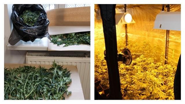 Policjanci z Grudziądza odkryli plantację marihuany. Do sprawy zatrzymali 29-latka.