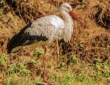 Bocian zimuje w Rokitnie. Mieszkańcy spisali się na medal - ptak jest cały i zdrowy, cała wieś go dokarmia