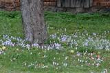 Ale cuda! Kwitną facelie, słoneczniki i kwiaty przypominające krokusy. Takie obrazki można zobaczyć w gminie Sulechów