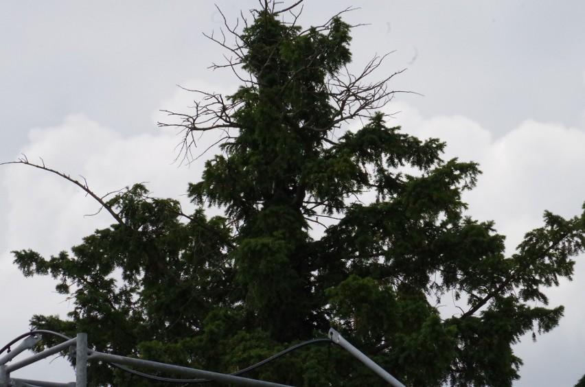 Najstarsze drzewo w Polsce rośnie na Dolnym Śląsku. Oto cis...