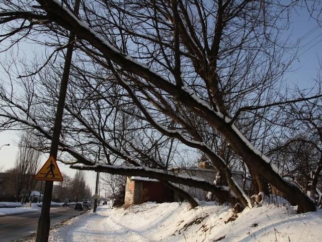 Drzewa przy Towarowej kładą się na chodnik i jezdnię
