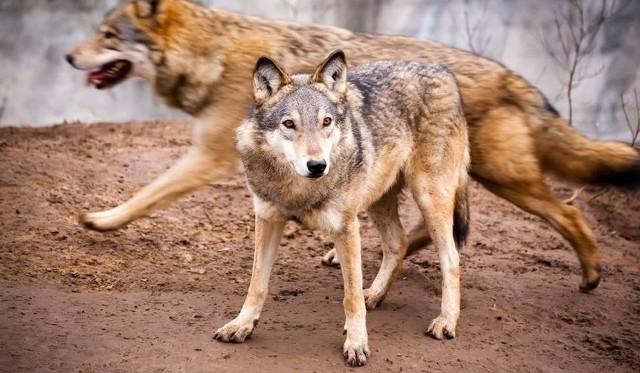 Coraz częściej wilki zbliżają się do osad ludzkich