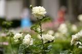 """W ogrodzie Białego Domu posadzono różę  """"papieża Jana Pawła II"""". Tak chciała Melania Trump"""