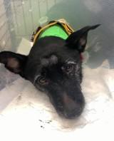 Wlał psu do pyska domestos, jest w areszcie. Suczka Zizi walczy o życie [FILM]