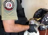 Chroniona małpka kapucynka na polsko-ukraińskiej granicy w Korczowej [ZDJĘCIA, WIDEO]
