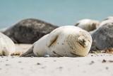 Kto kocha upały? Helskie foczki. Zobaczcie, jak opalają się na jednej z plaż Półwyspu Helskiego. Zachwycający widok!
