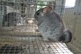 Zakaz hodowli zwierząt na futra zrujnuje branżę i ociepli twarz PiS